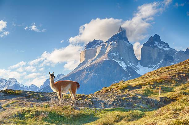 faune endémique patagonie lama argentine chili
