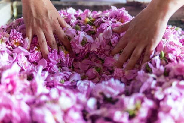 rose bulgare fleurs plante royale bienfaits histoire