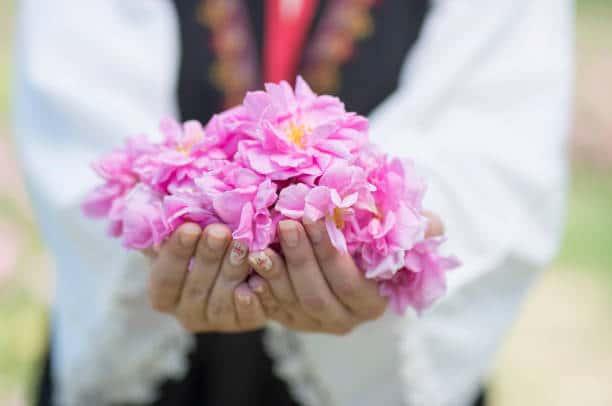 rose bulgare rose damas histoire vertus bienfaits