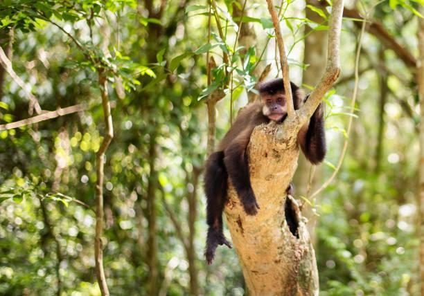 singe especes animales rare parc national iguazu amerique latine