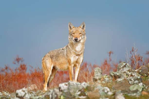 loup foret bulgarie montagne faune sauvage europe est